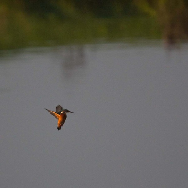 Kingfisher in action...