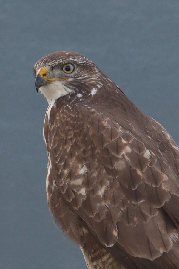 Portrait of a buzzard...