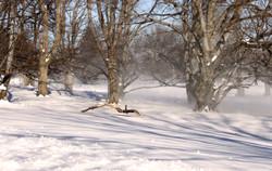 Wind, Trees, Snow
