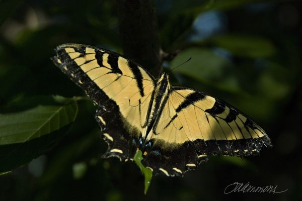 Swallowtail Butterfly, quote from Still Alice