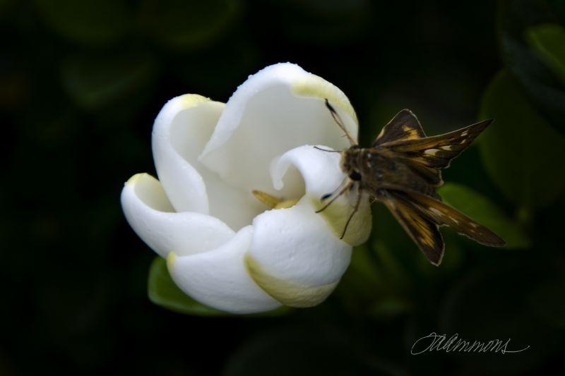 Moth on Gardenia, quote by M. L. King, Jr.