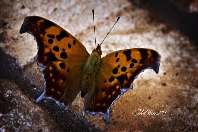 Butterfly, quotey by Hugo von Hoffmannstahl