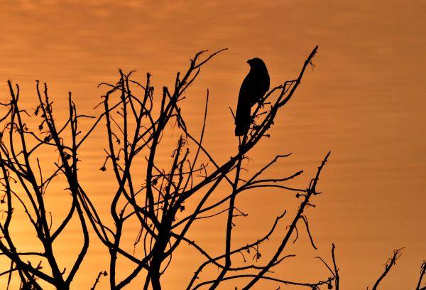 Raven at Sunrise