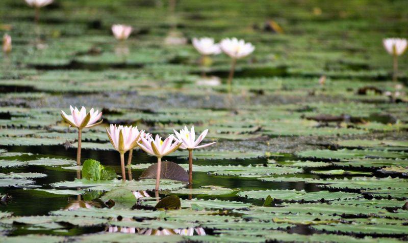 Thaamarai kulam