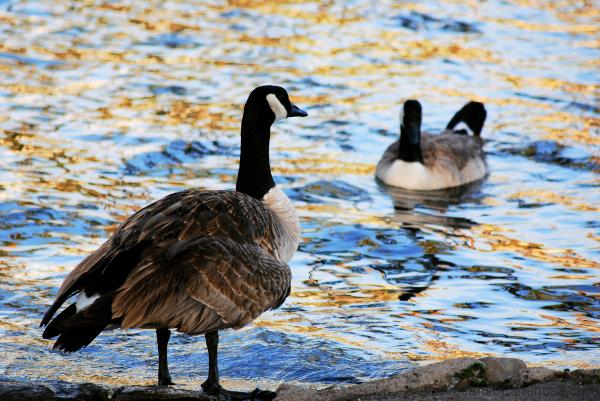 Depressing Conversation Geese