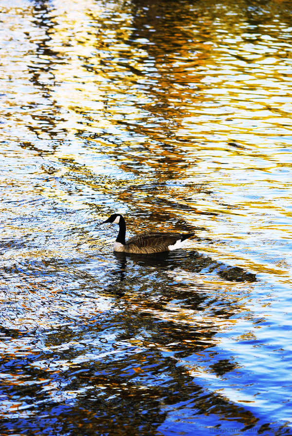 sunset goose lake