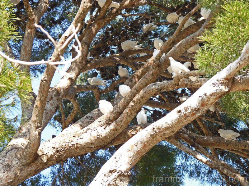 l'arbre aux pigeons