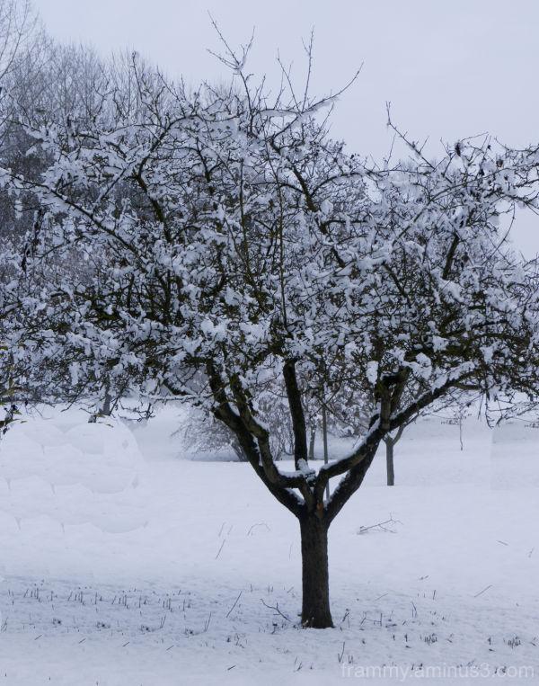 pommier sous la neige