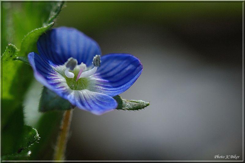 Petite, toute petite, fleur bleu..