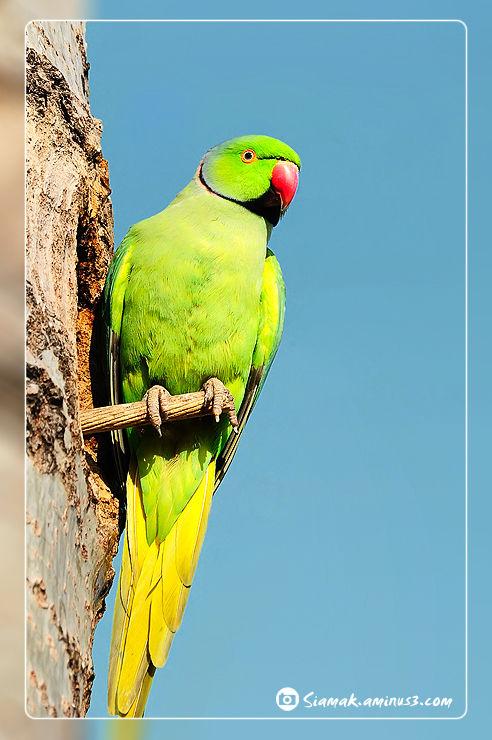 Small Alexander Parrot