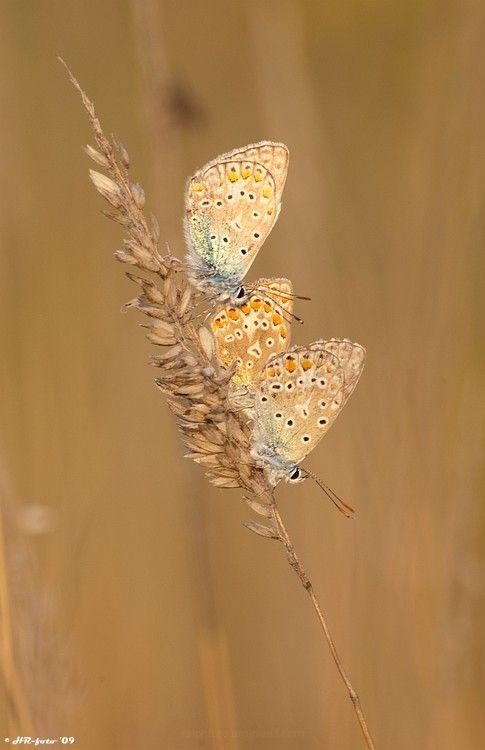 Commonblue  carusblauwtje butterfly, vlinder macro