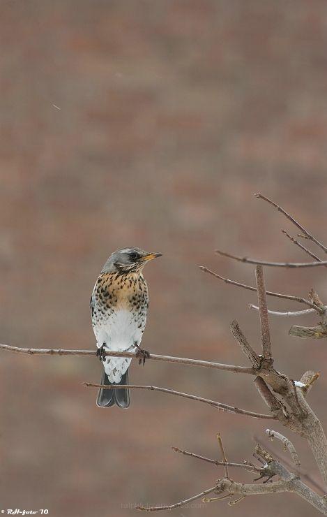 Fieldfare Kramsvogel Nikon-D40 Bird vogel, 300mm