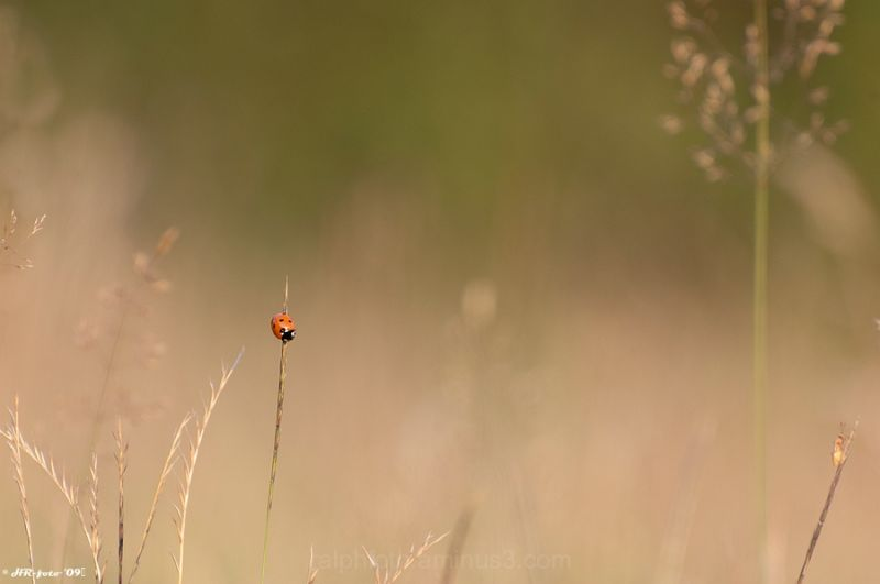 Ladybird, Lieveheersbeestje, close-up, Nikon-D40,