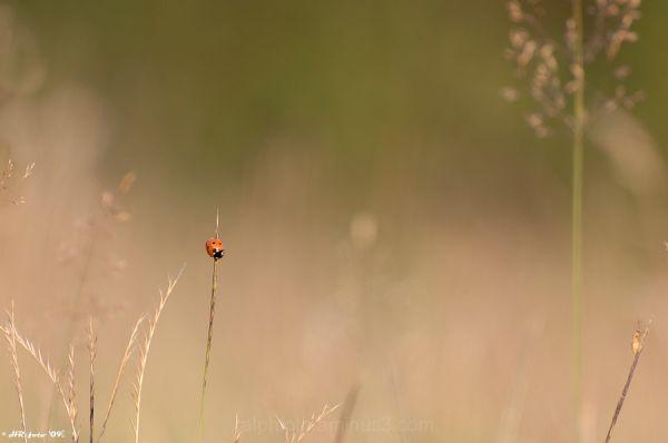Ladybird, Lieveheersbeestje, close-up, Nikon-D40,