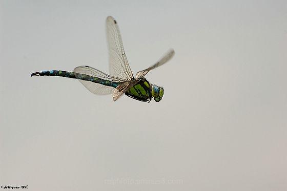 Southern-hawker Blauwe-glazenmaker macro Nikon