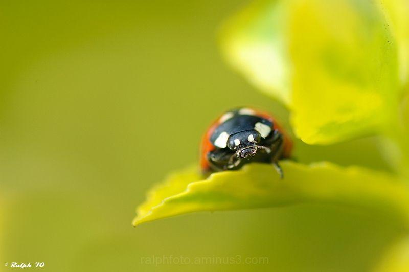 Ladybird Lieveheersbeestje macro tamron nikon