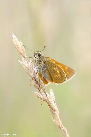 macro, vlinder, D90, Tamron 90mm