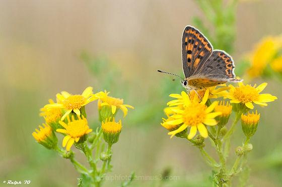 Macro, vlinder, Tamron 90mm Nikon D90