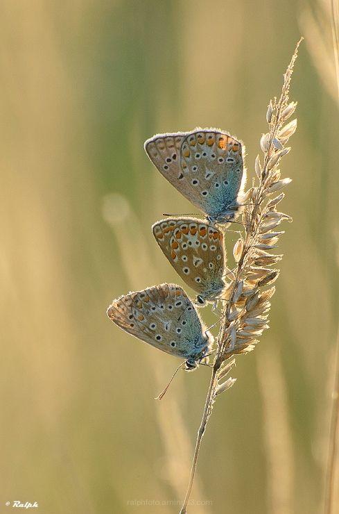 Icarusblauwtje, macro, Nikon, vlinder