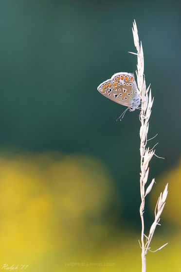 butterfly, common blue, macro, D90, Tamron