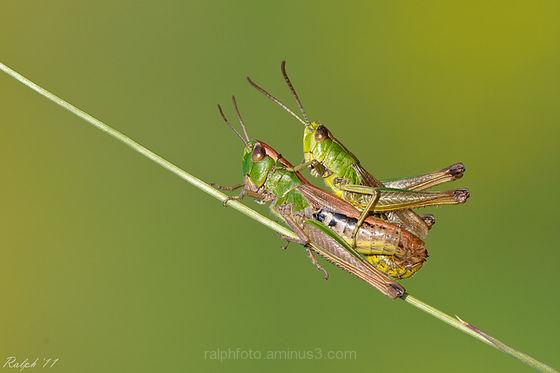 Krasser, meadow grasshoper, macro, sprinkhaan
