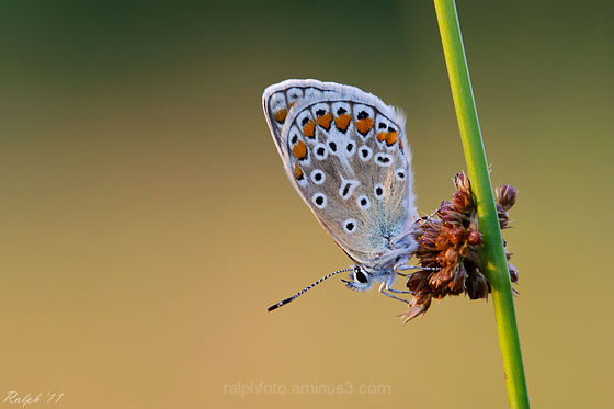 Common Blue / Icarusblauwtje