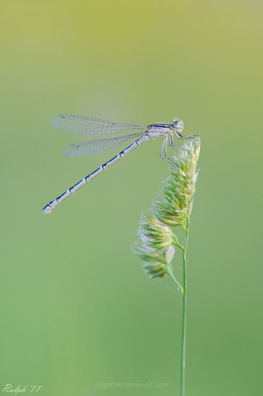 Common blue damselfly,Watersnuffel,Tamron,180mm