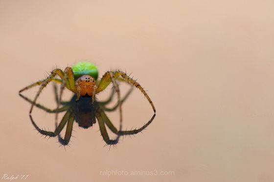 Cucumber spider,Komkommerspin,macro,spider,90mm,Ta