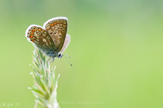 Common-Blue,Icarusblauwtje,90mm,nikon,d90,Tamron