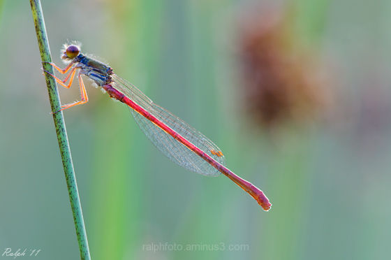 Small-red-damselfly,Koraaljuffer,macro,Tamron