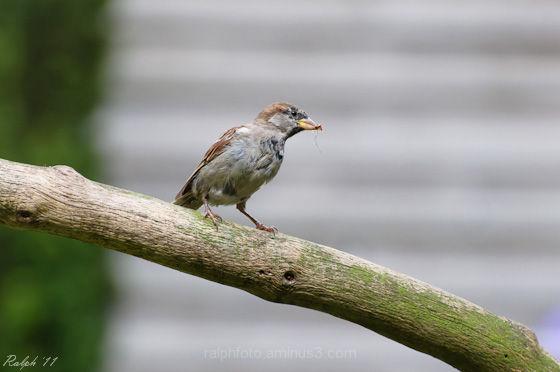 Mus,bird,nikon,D90,nikkor,house-sparrow