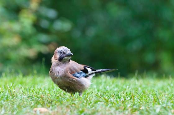 Jay,Gaai,Nikon,D90,Bird,vogel