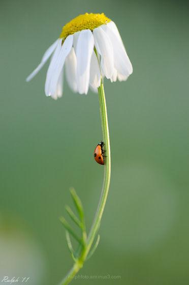 lieveheersbeestje,Nikon,macro,flower,tamron