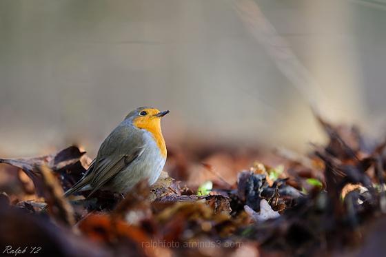 Robin,roodborst,nikon,vogel,bird,