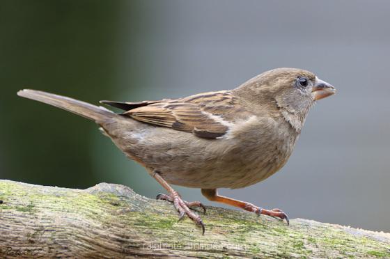 Sparrow / Mus