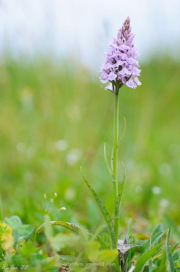 Heath Spotted-Orchid ,Gevlekte Orchis,macro,nikon,