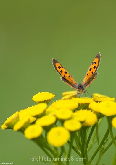 Small-Copper,Kleine-vuurvlinder,nikon,butterfly
