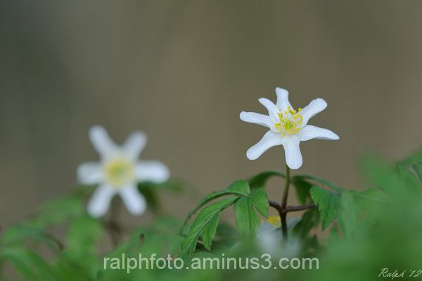 wood-anemone bosanemoon nikon tamron macro flower