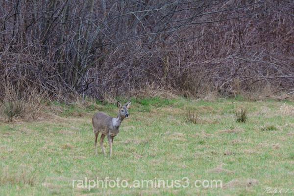 Roe deer / Ree