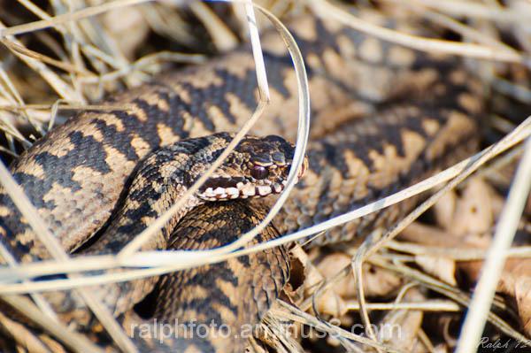 Adder,nikon,common-viper,