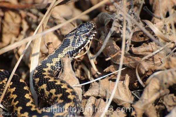 adder nikon common-viper