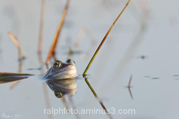 Moorfrog,heikikker,voorjaar,kikker,nikon