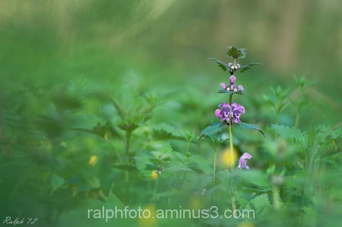 Dovenetel, bloem, plant, macro, flower, nikon