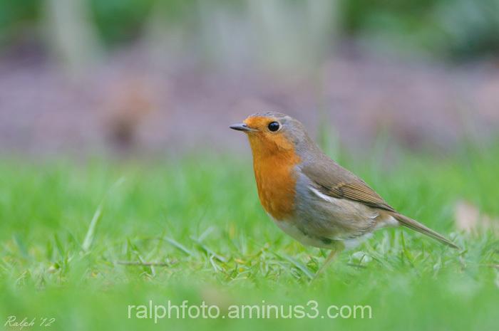 Robin,roodborst,nikon,bird,vogel