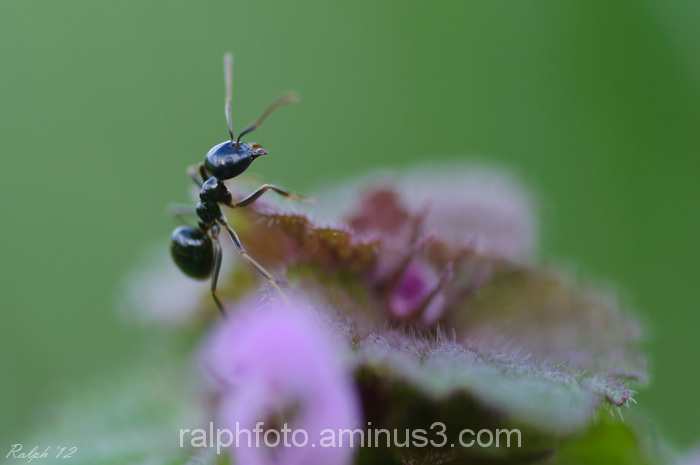 Mier,nikon,D90,ant,insect