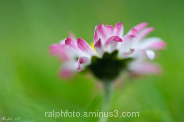 Lawn-daisy,madelief,flower,macro,bloem,nikon,D90