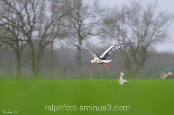 white-stork ooievaar bird vogel nikon