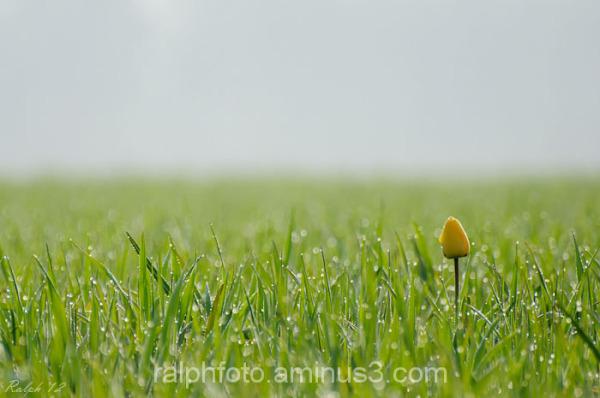 tulip,tulp,nikon,D90,flower,bloem,nature