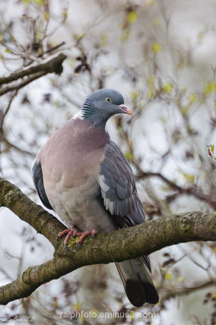 Dove,Duif,Nikon,D90,bird,Vogel