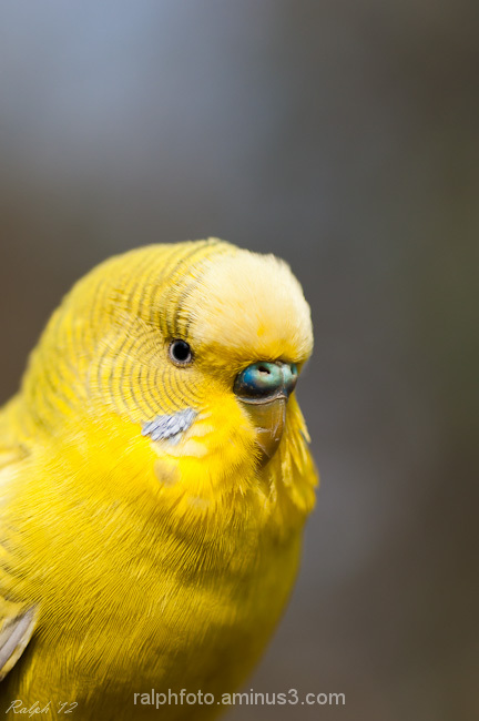 parkiet,bird,vogel,nikon